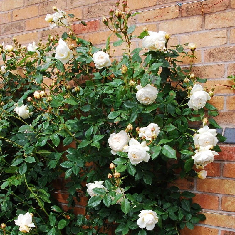 роза шраб клэр остин