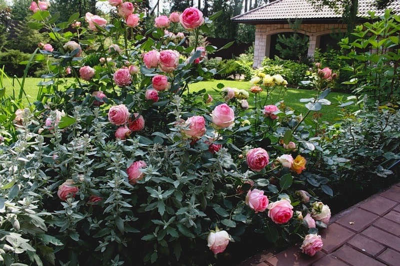 роза шраб ферст леди