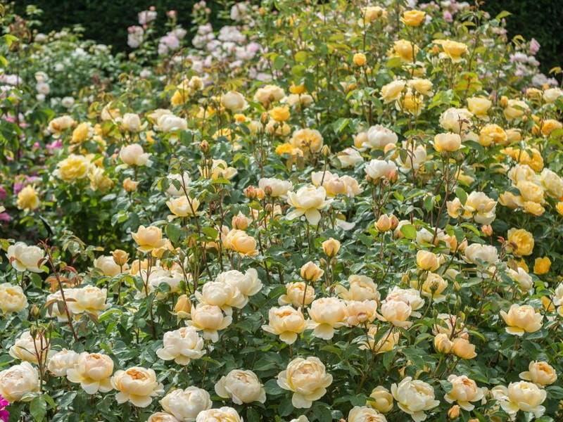 роза шраб джуд де обскур