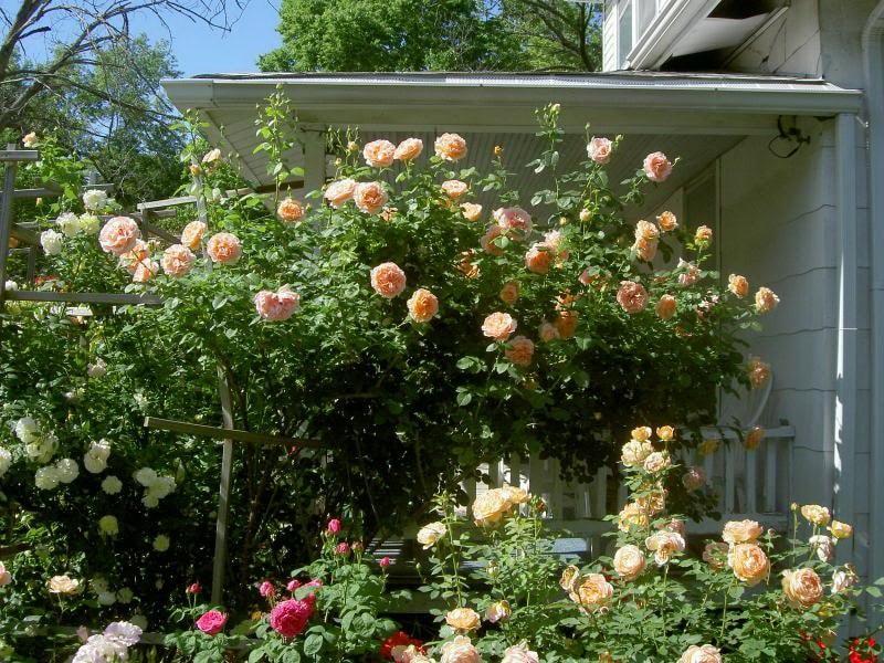 роза шраб полька