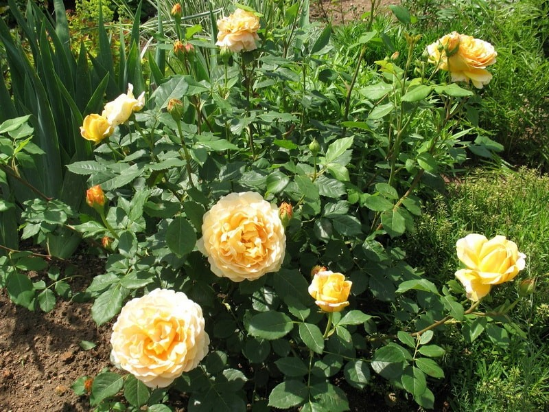 роза шраб анни дюпрей