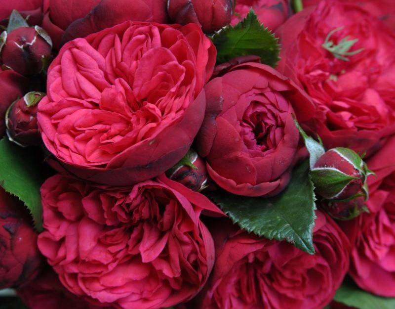 роза шраб пиано
