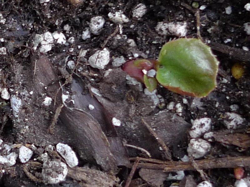 бадан выращивание из семян когда сажать