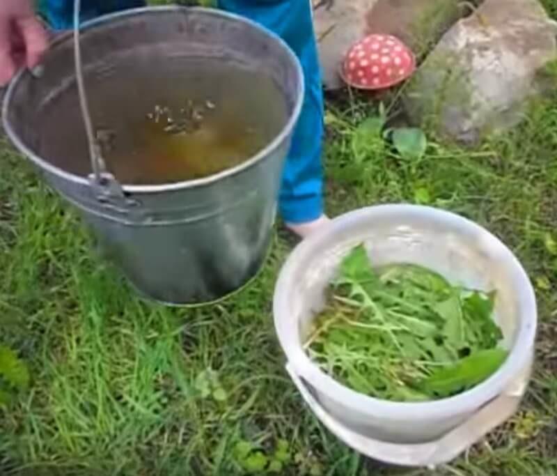 как использовать настой одуванчика в огороде