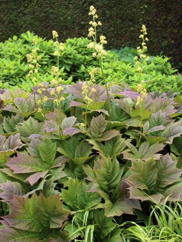 Какие сорта роджерсии подходят для выращивания на дачном участке?