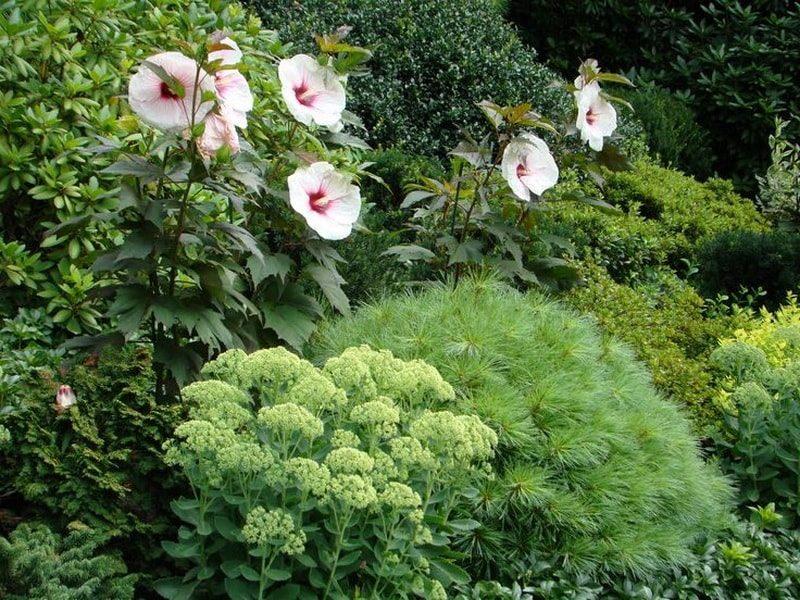 гибискус садовый травянистый посадка и уход