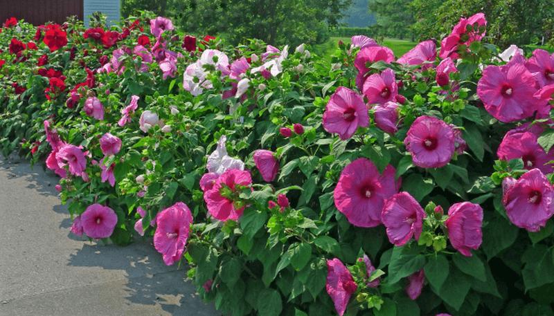цветы гибискус травянистый