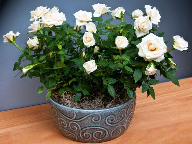 Букет цветком, живена интернет магазин растений розы