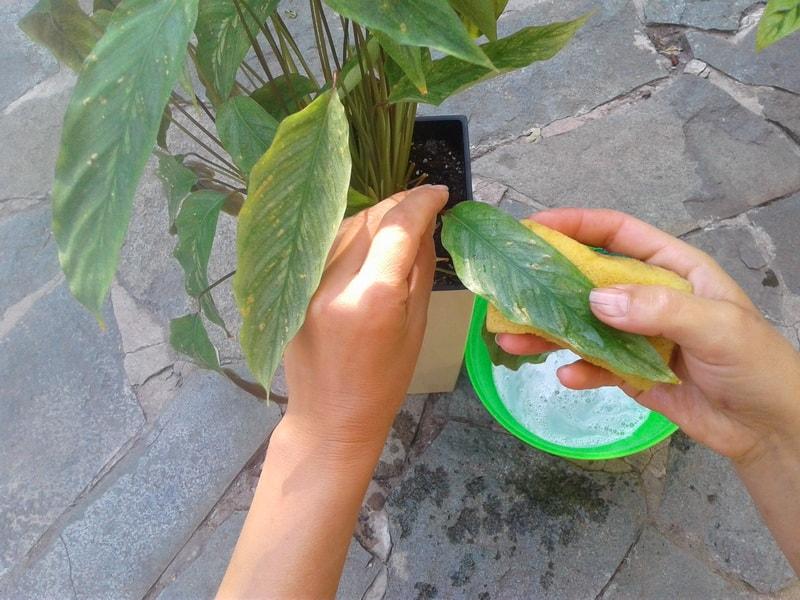 раствор хозяйственного мыла от вредителей