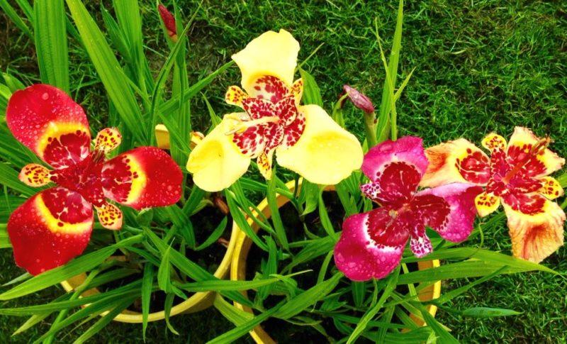 цветы тигридия посадка и уход фото