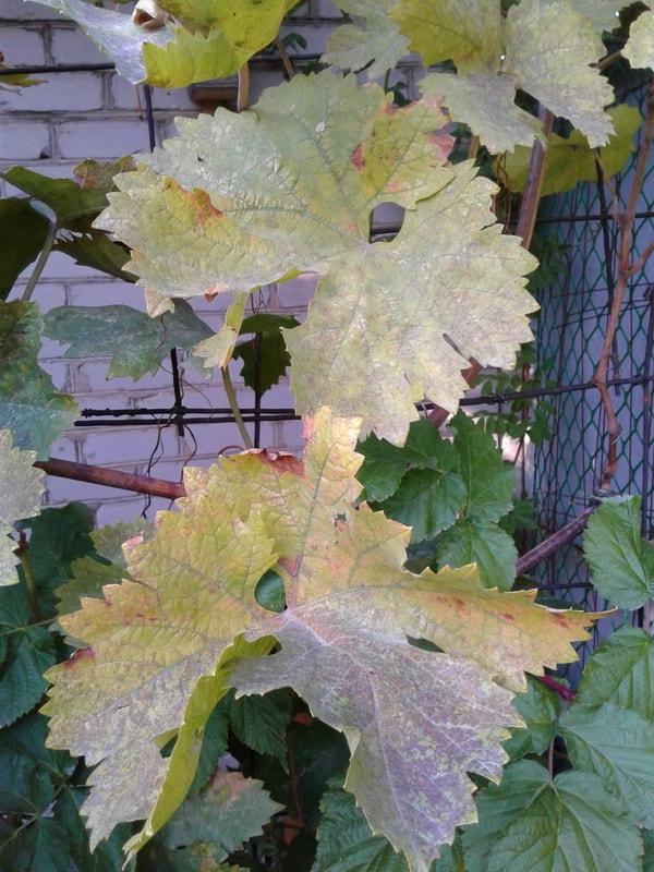 Грибковые заболевания винограда. Серая и белая гниль