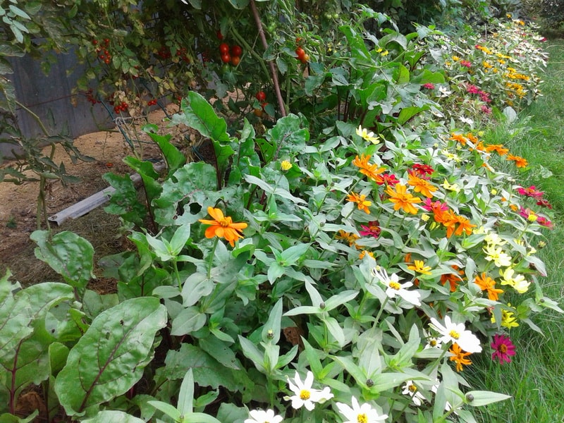 пермакультурный огород на нашем участке с применением циннии