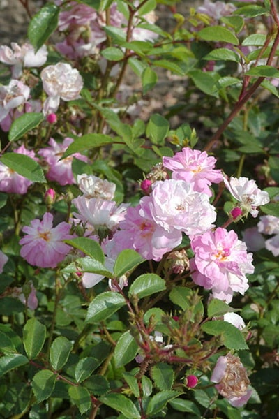 нежно розовая роза сорт Lavender Cover