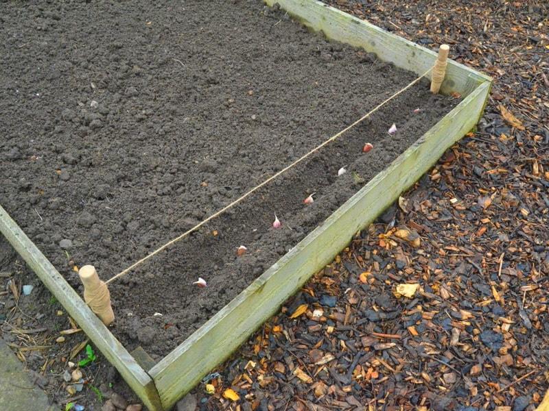 посев чеснока под зиму: когда сажать и нужно ли поливать его при посадке
