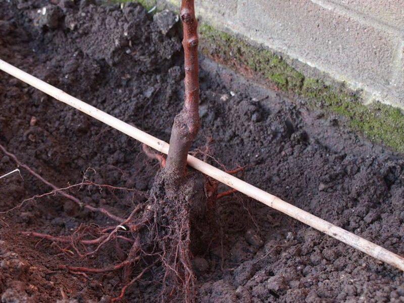 как правильно сажать привитые деревья