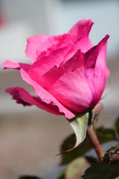 роза парис шарм