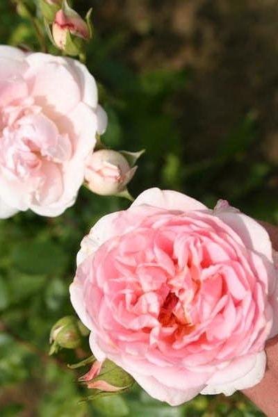 роза плетистая розовая сорта Pretty Flamingo