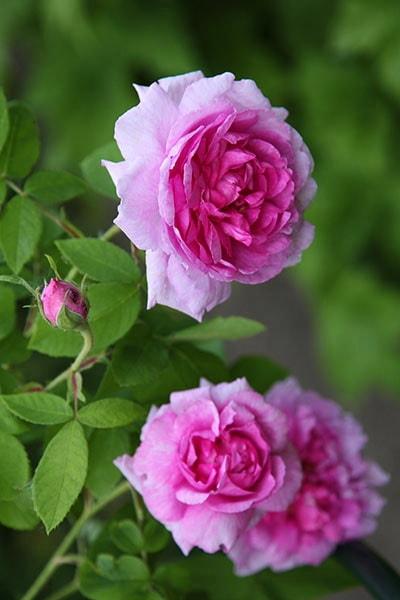 розовая роза сорт Persian Rose