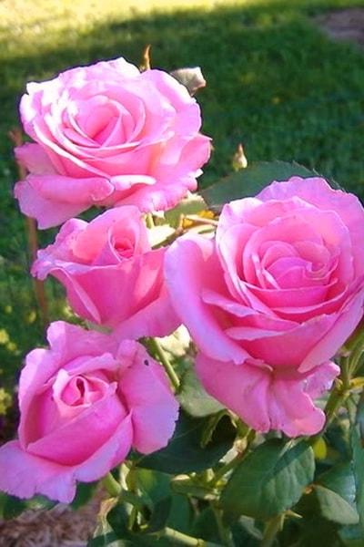 роза сорта куин элизабет