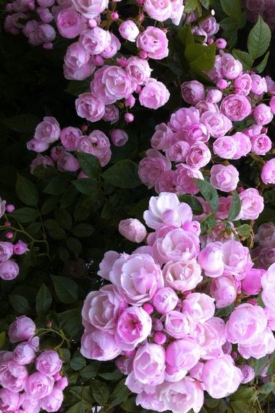розовая роза Princesse Marie