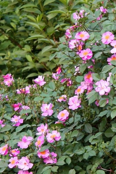 розовая роза сорт Lavender Dream