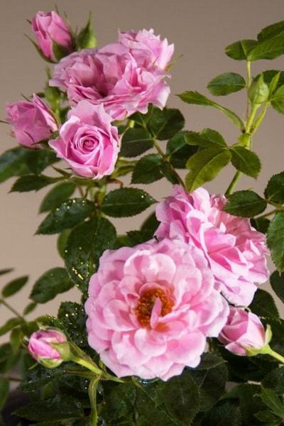 розовая роза сорт Pink Symphonie