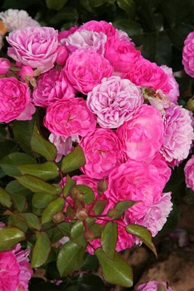 розовые розы сорта Pink Floriland