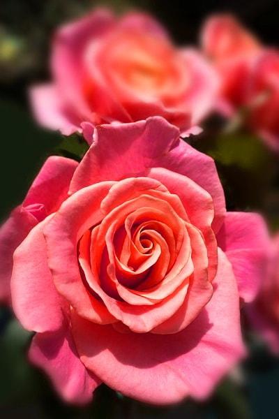 сорт розовой розы Miss Piggy
