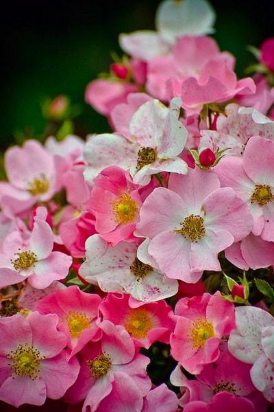 сорт розы Fortuna