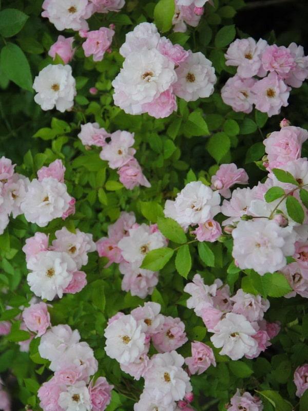 розовая роза сорт Сухумка