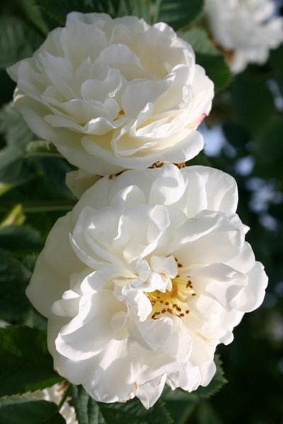 роза альба суавеоленс