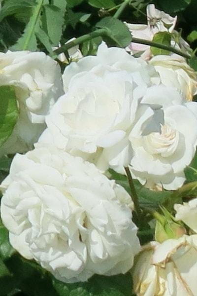 роза айс мейландекор