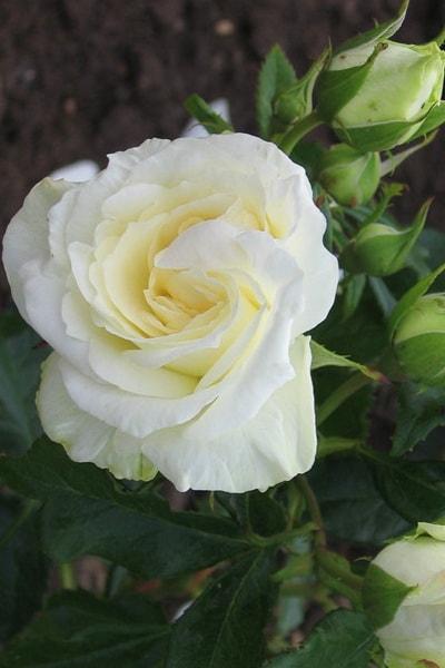розы ла палома