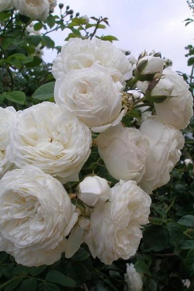 роза лонг джон сильвер