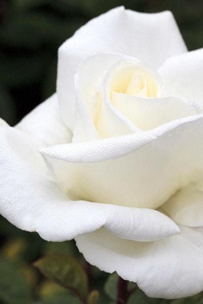 роза метрополитен