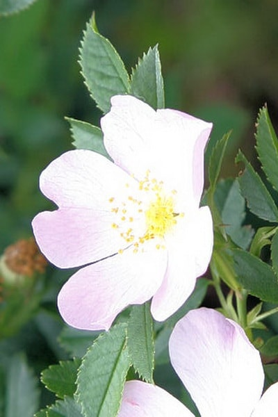 роза лакса