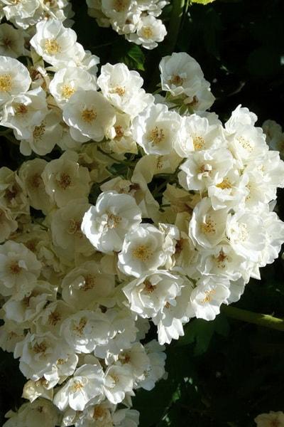 роза талия