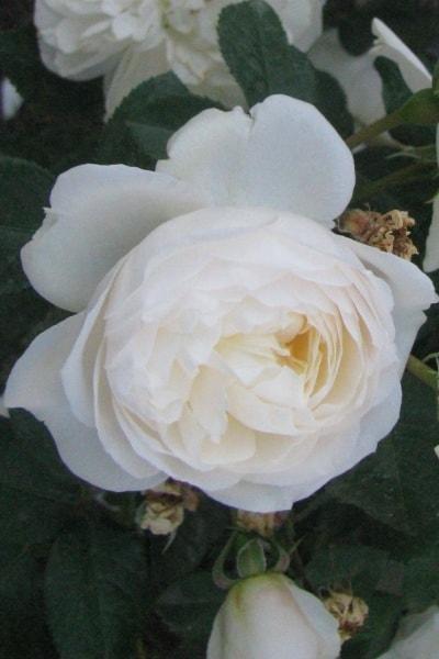 роза уайт букет