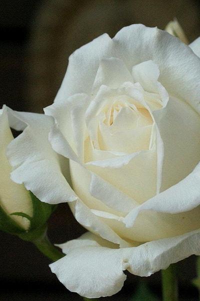 роза вайт кристмас