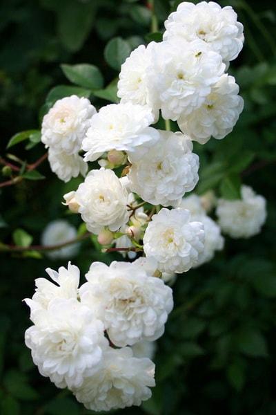 роза уайт дороти перкинс