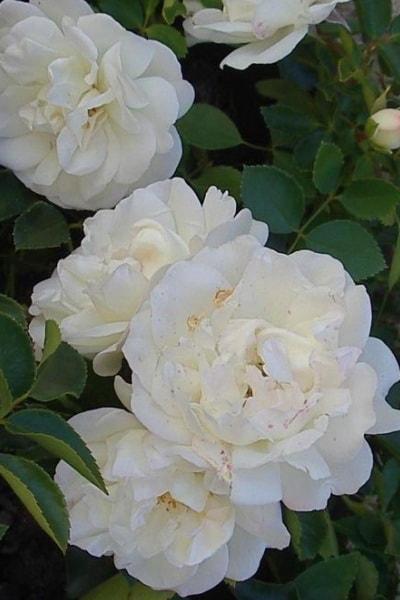 роза вайт мейландина