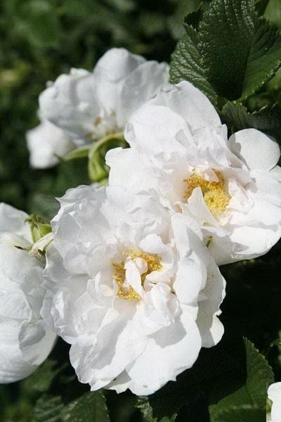 роза вайт роудраннер