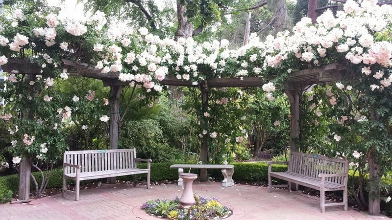 белые розы сорта фото