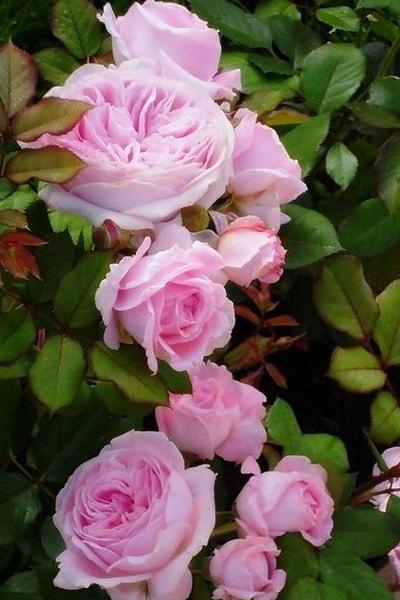 розовая роза Розегрэфин Мари Хенриэттэ