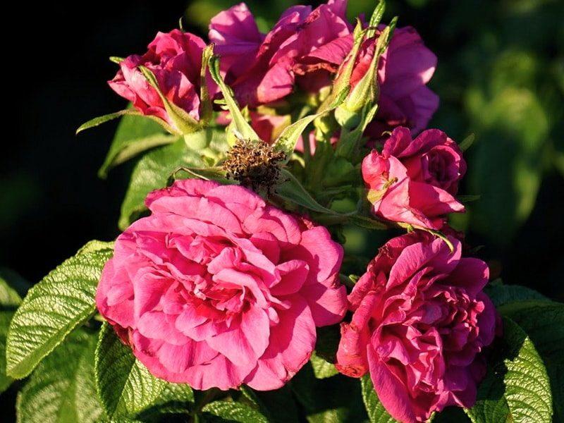 морщинистые розы фото способствует росту увеличивает