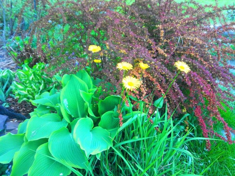 дороникум (фото цветов в миксбордере)