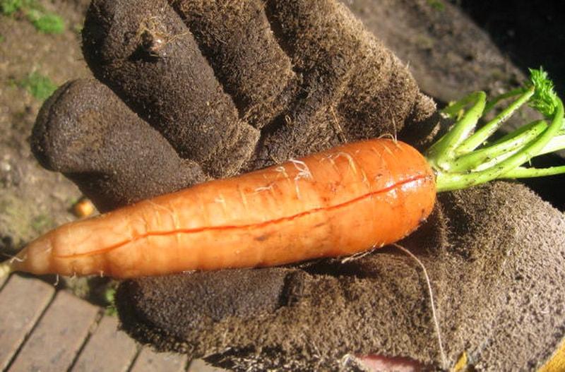 почему трескается морковь