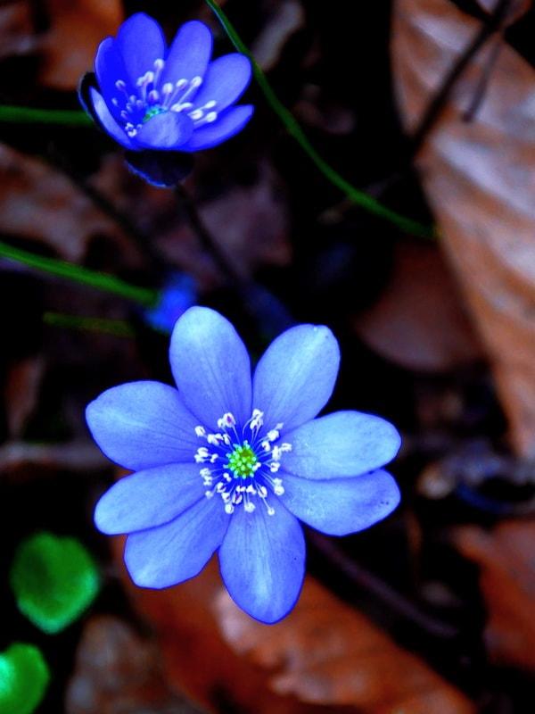 Печеночница цветок описание