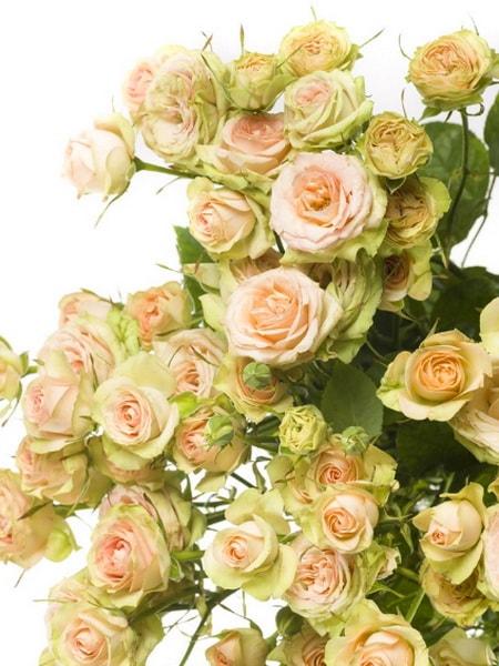 роза спрей Романтик Пепита