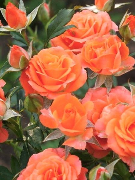 роза спрей Алегрия (фото и описание сорта)
